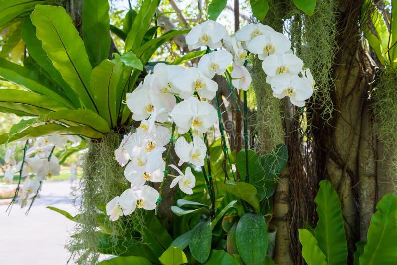 Flores blancas de la orquídea en el árbol foto de archivo