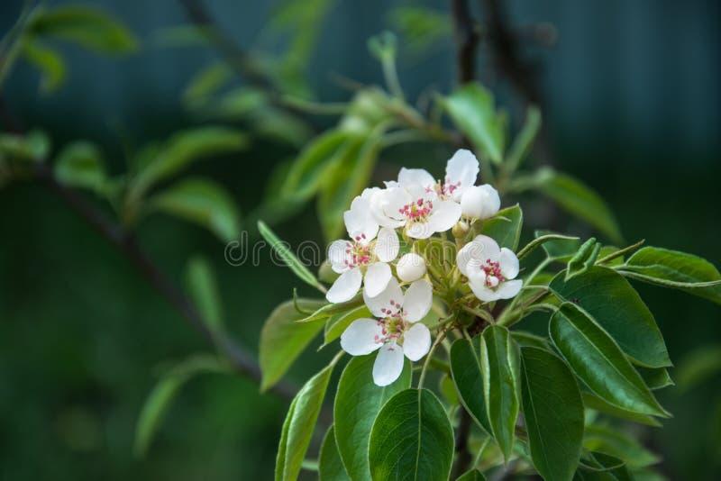 Flores blancas de la pera imágenes de archivo libres de regalías