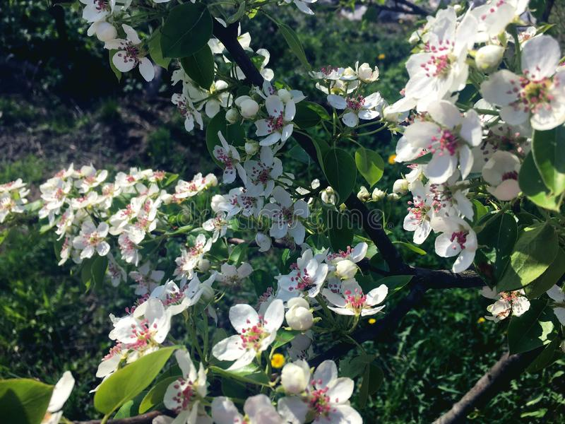Flores blancas de la pera encendidas por el sol imagenes de archivo