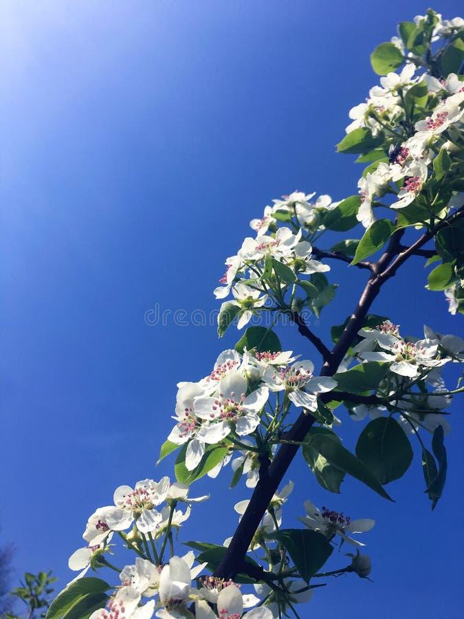 Flores blancas de la pera encendidas por el sol imagen de archivo