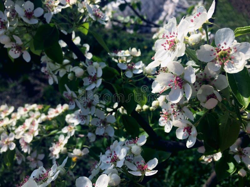 Flores blancas de la pera encendidas por el sol fotografía de archivo