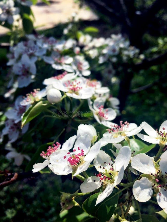Flores blancas de la pera encendidas por el sol foto de archivo