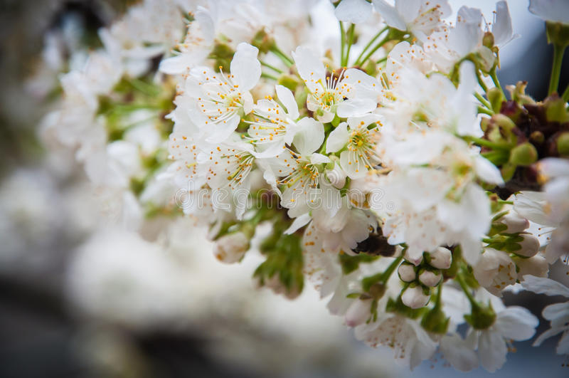 Flores blancas de la primavera fotos de archivo
