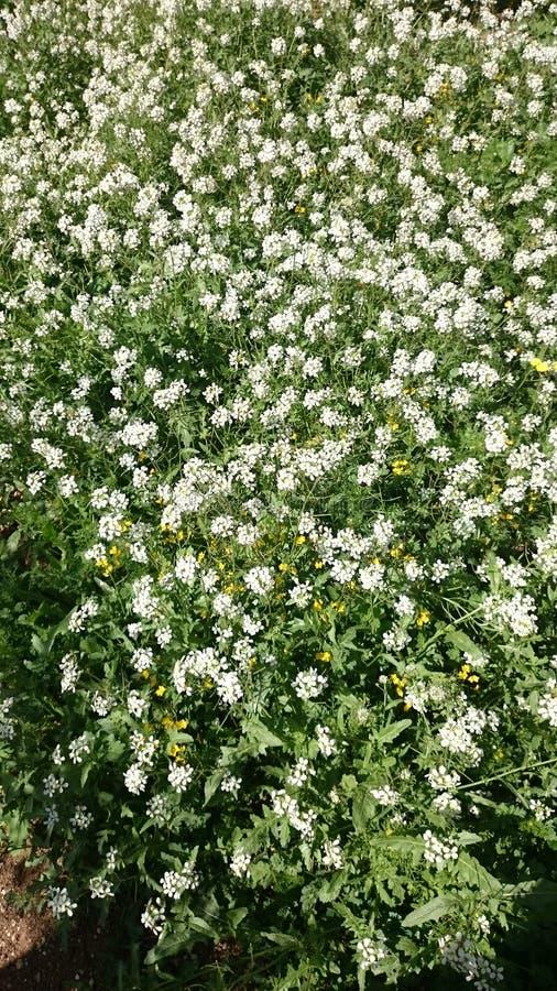 Flores blancas de la primavera imagen de archivo libre de regalías