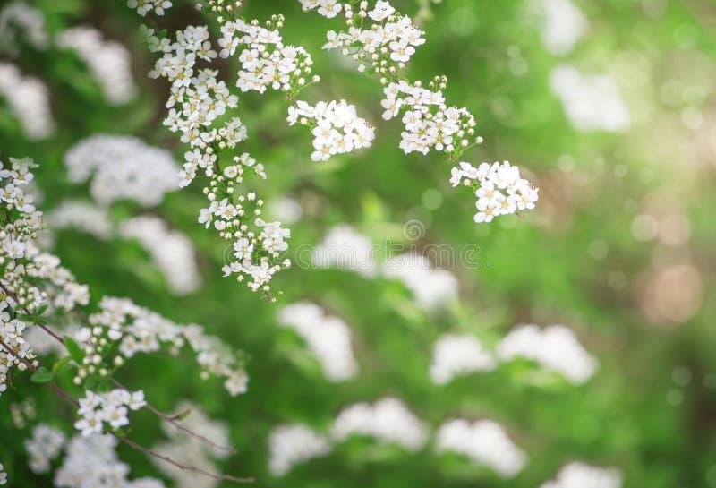 Flores blancas de la primavera en las ramas de árbol fotografía de archivo libre de regalías