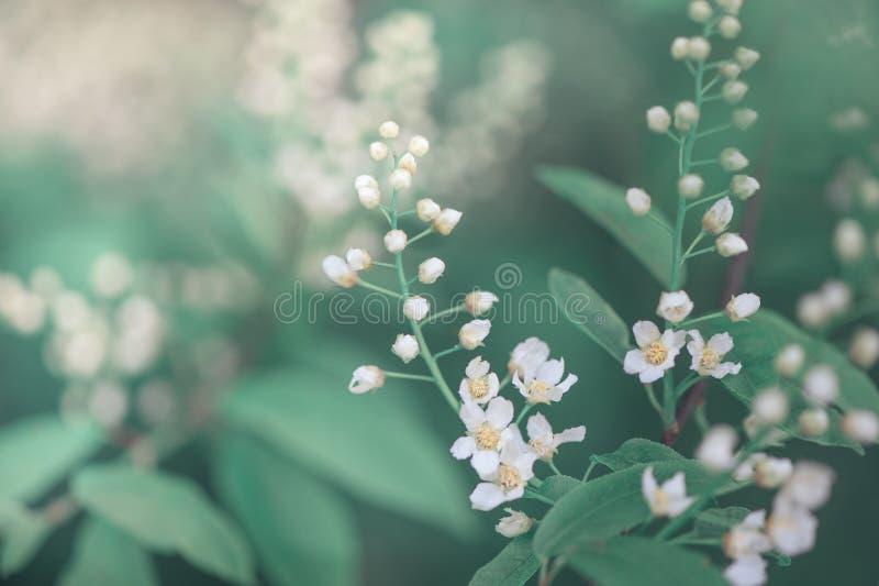 Flores blancas de la primavera en las ramas de árbol fotos de archivo