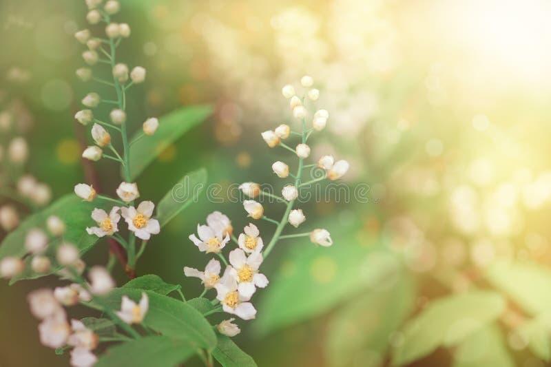 Flores blancas de la primavera en las ramas de árbol foto de archivo