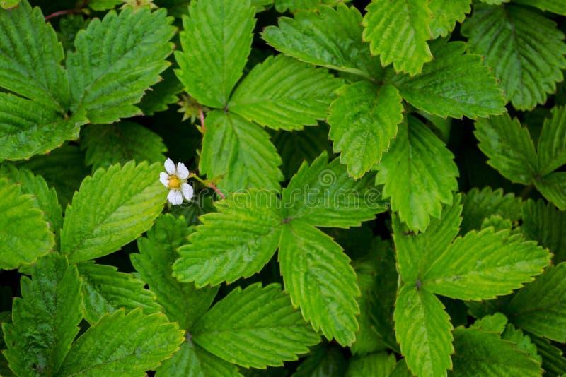 Flores blancas de la primavera de fresas en el campo Campo verde de fresas Fondo imagen de archivo libre de regalías