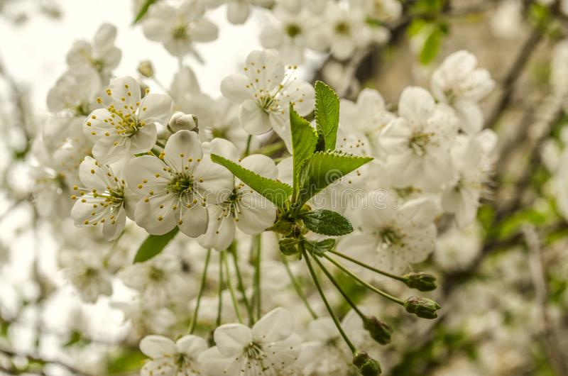 Flores blancas de las hojas de la cereza y de los jóvenes fotos de archivo