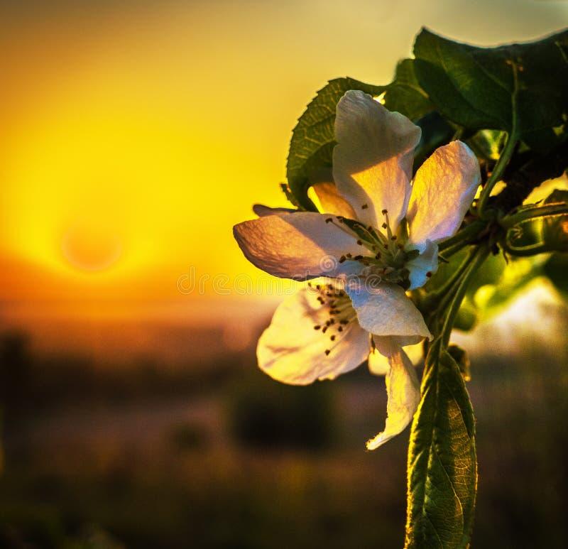 Flores blancas de los manzanos foto de archivo