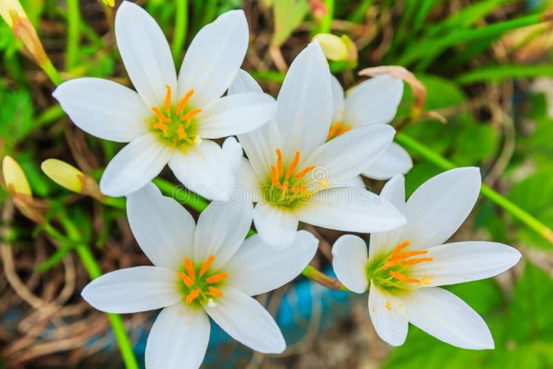 Flores blancas de los zephyranthes Lirio de la lluvia imágenes de archivo libres de regalías