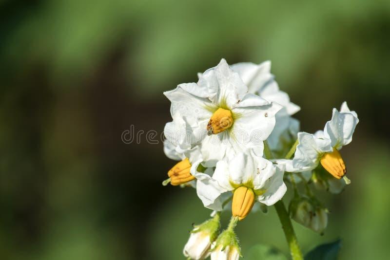 Flores blancas de una planta de patata imagen de archivo