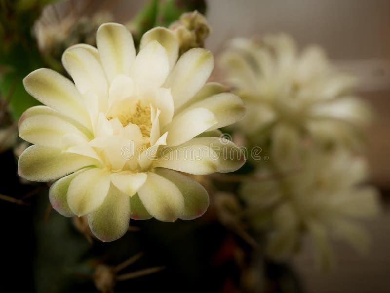 Flores blancas del cacto fotos de archivo libres de regalías