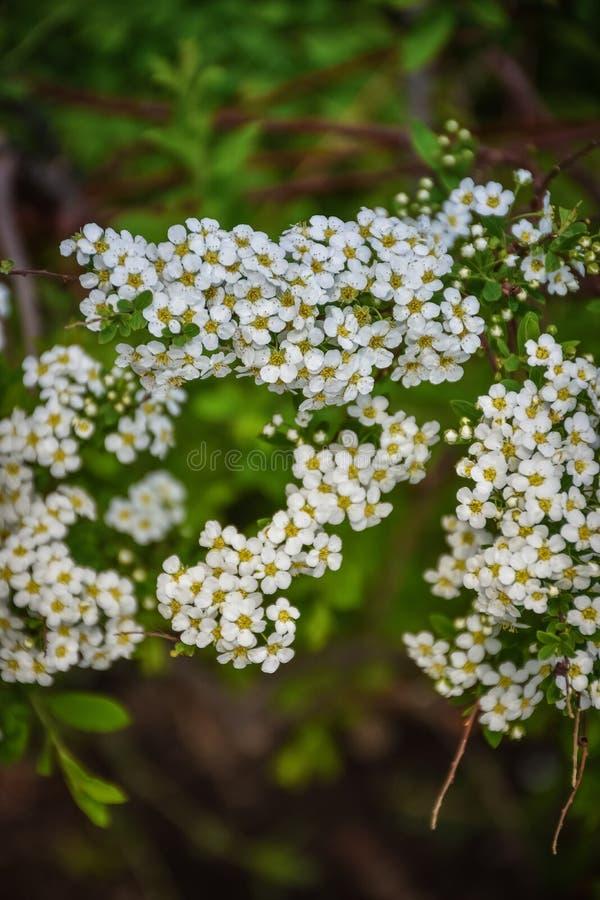 Flores blancas del cierre del spirea para arriba fotografía de archivo libre de regalías