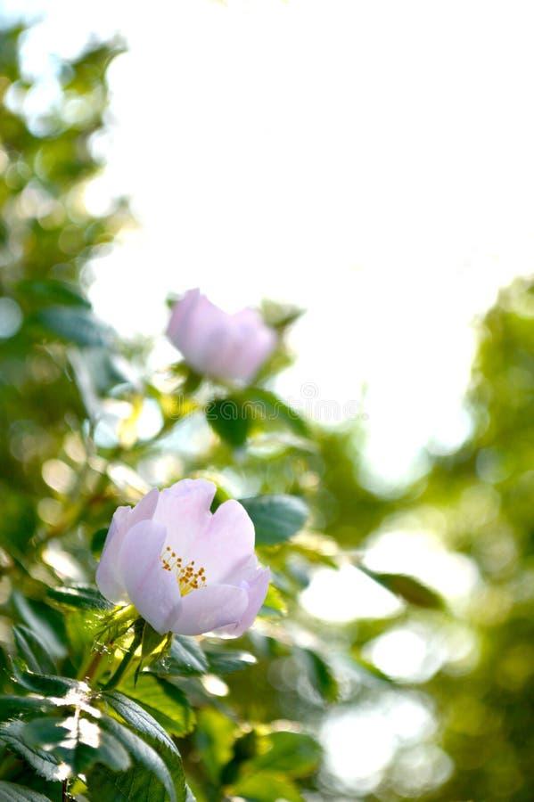 Flores blancas del escaramujo con el fondo suave Lugar para el texto imagenes de archivo