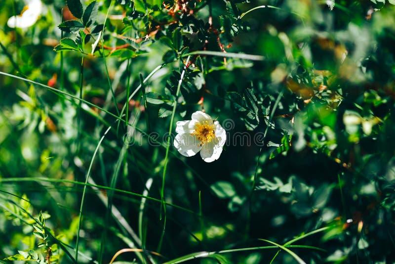 Flores blancas del escaramujo en el jardín naturaleza de la perro-rosa foto de archivo libre de regalías