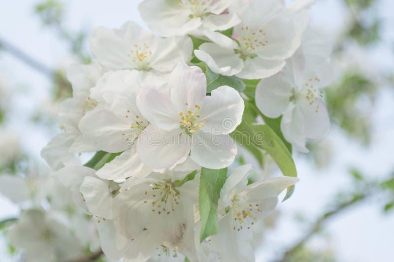 Flores Blancas Del Flor De La Primavera Foto de archivo - Imagen de ...