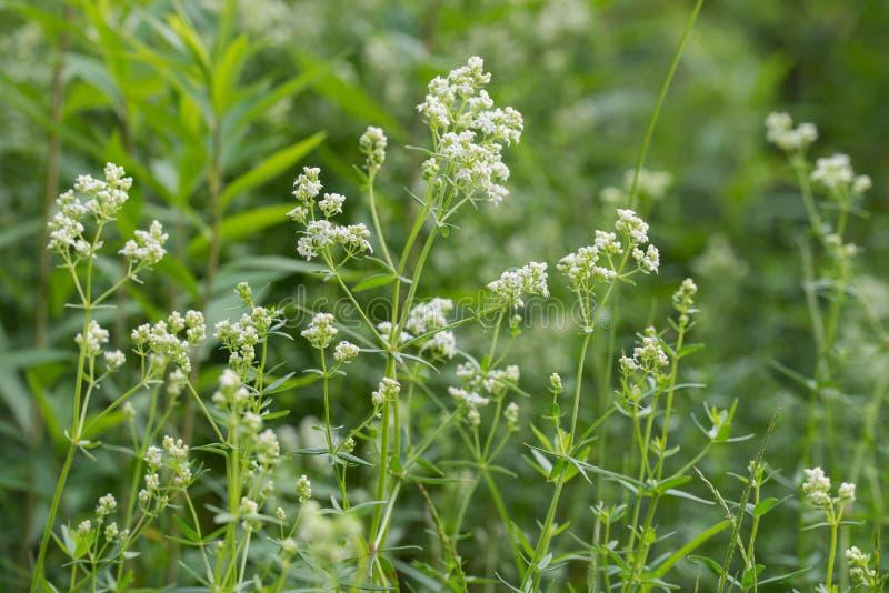 Flores blancas del galio foto de archivo libre de regalías