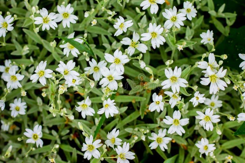 Flores blancas del gypsophila en una cama de flor, una textura del flowers_ blanco imagen de archivo