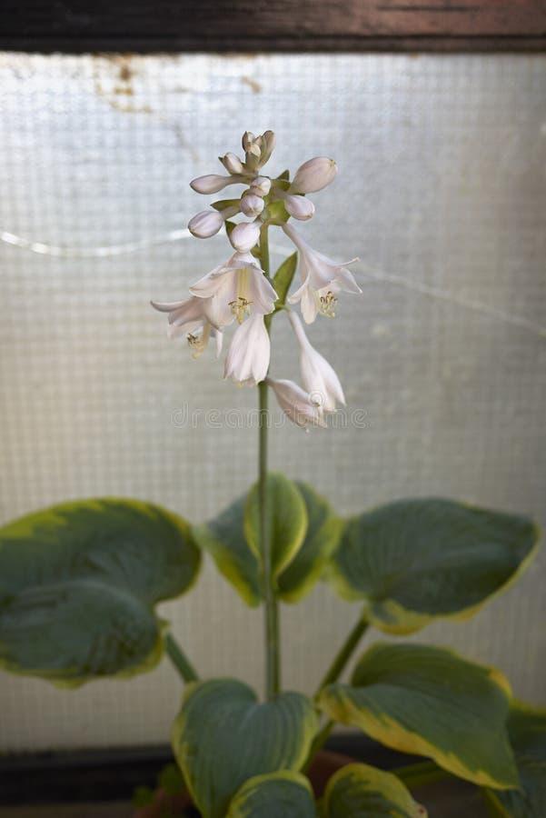 Flores blancas del hosta imagenes de archivo