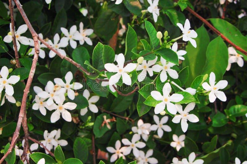 Flores blancas del jazmín del sampaguita, grupo de la naturaleza que florece en jardín imágenes de archivo libres de regalías