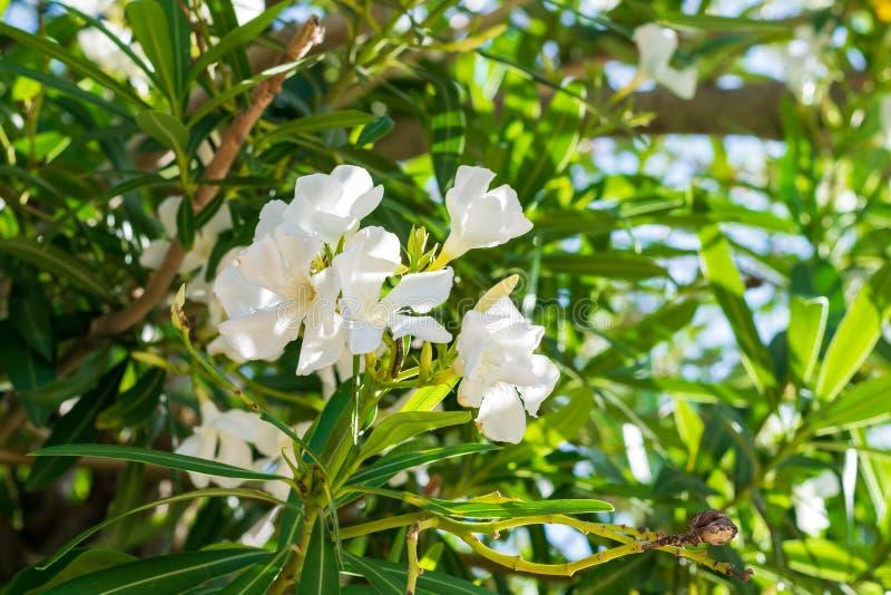 Flores blancas del oleander fotografía de archivo