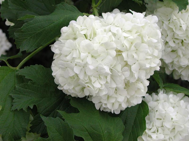 Flores blancas del opulus del Viburnum fotos de archivo libres de regalías