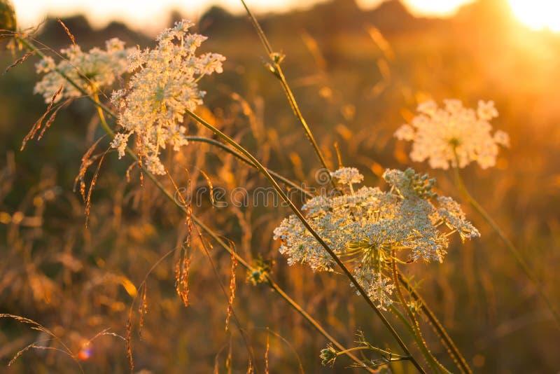 Flores blancas del prado salvaje en fondo de la luz de la puesta del sol imagen de archivo