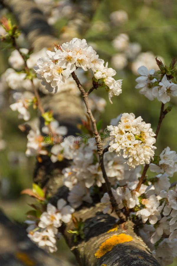 Flores blancas del ?rbol frutal en una rama imágenes de archivo libres de regalías