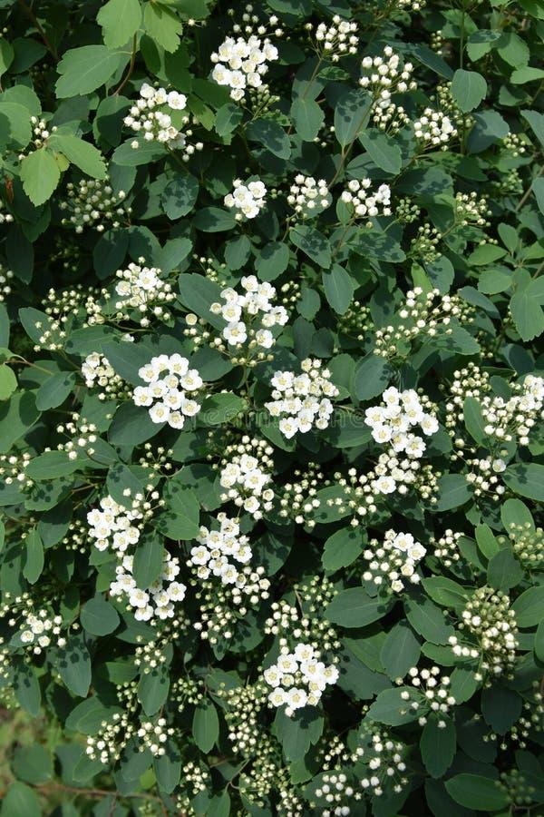 Flores blancas del spiraea fotos de archivo libres de regalías