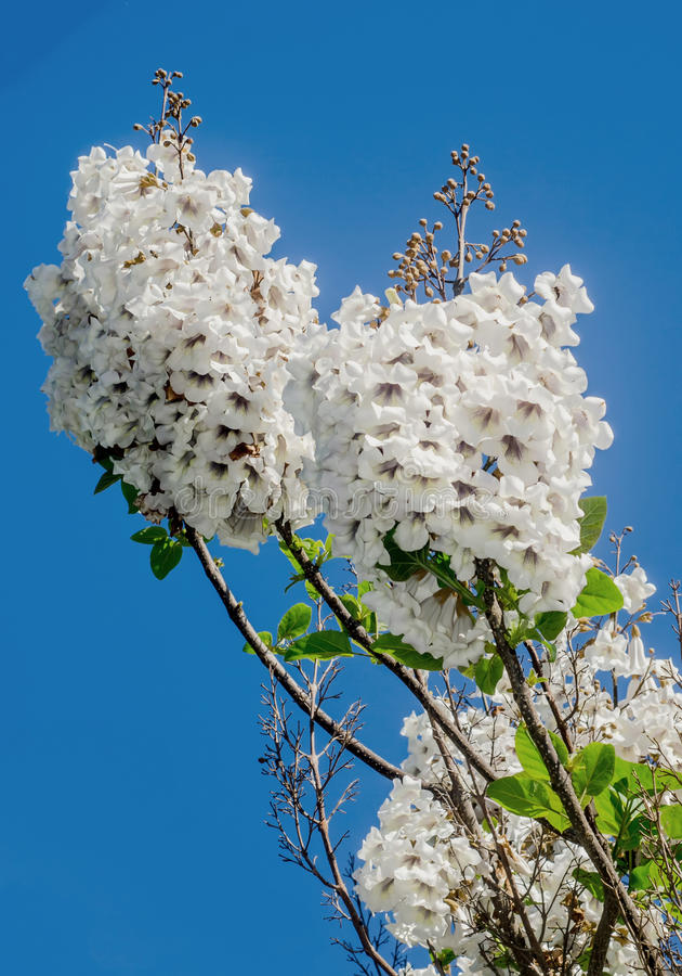 Flores blancas del tomentosa del paulownia imagen de archivo