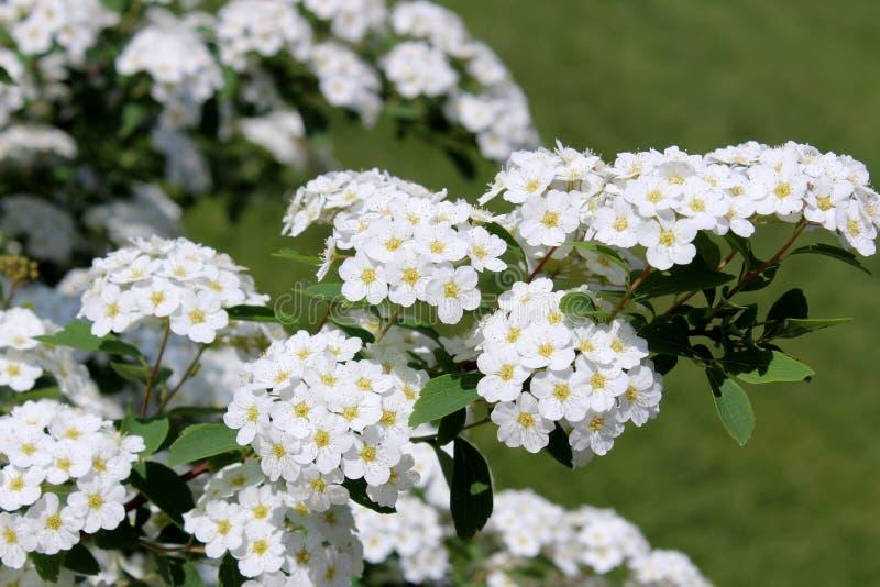 Flores blancas delicadas con los centros amarillos en arbusto de florecimiento en jardín ajardinado imagenes de archivo