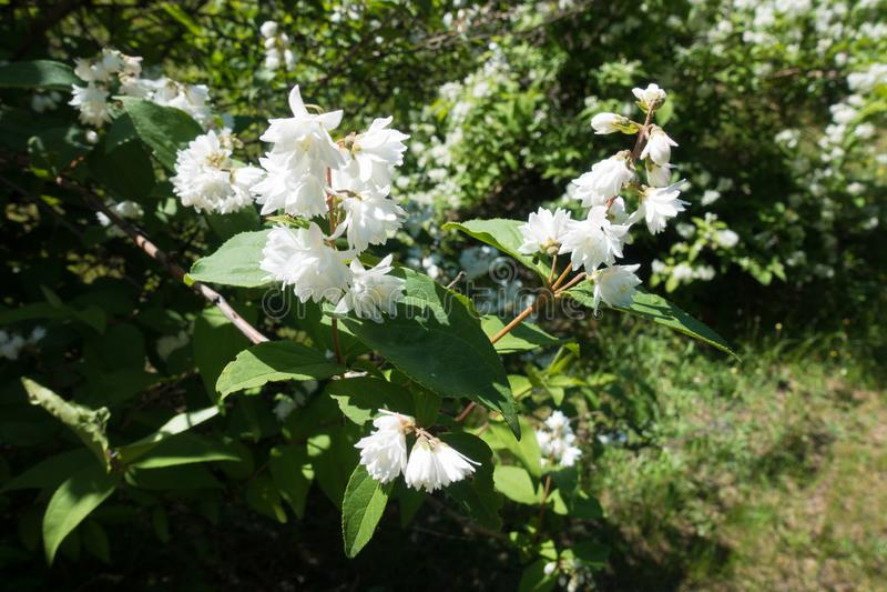 Flores blancas dobles en el leafage del Deutzia fotos de archivo libres de regalías