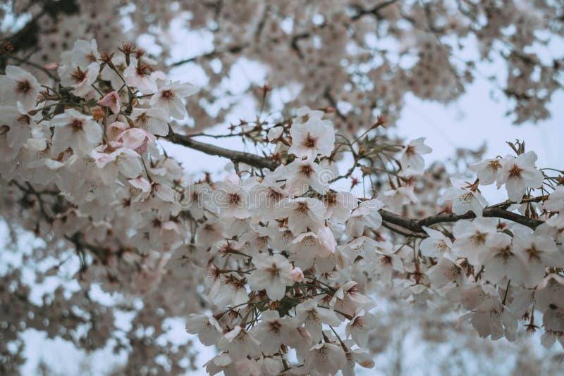 Flores blancas en bloosom de la cereza de la primavera fotos de archivo