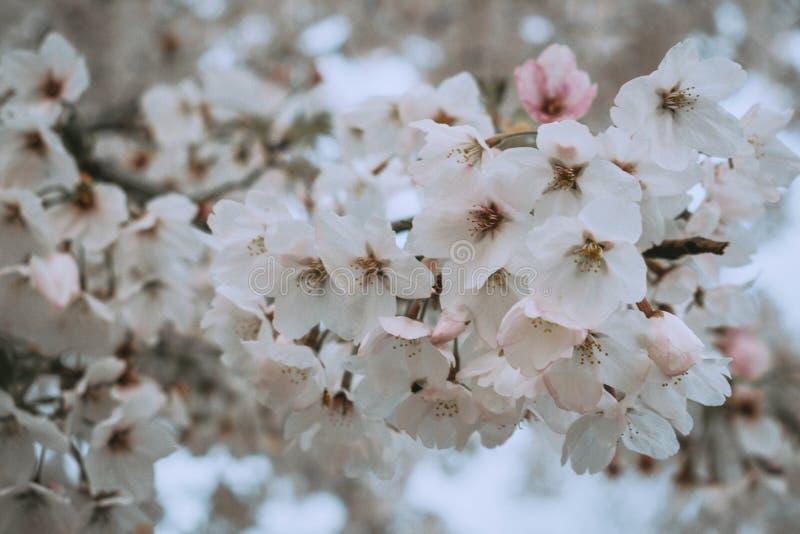 Flores blancas en bloosom de la cereza de la primavera imagenes de archivo