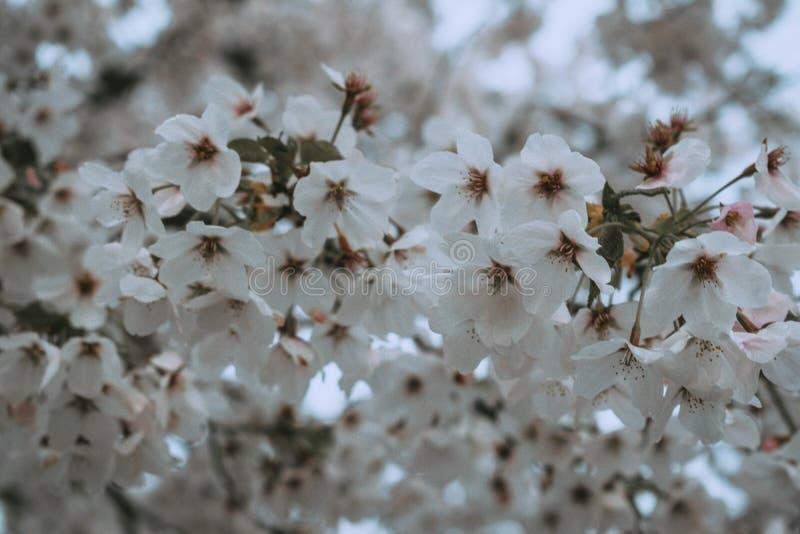 Flores blancas en bloosom de la cereza de la primavera fotografía de archivo libre de regalías