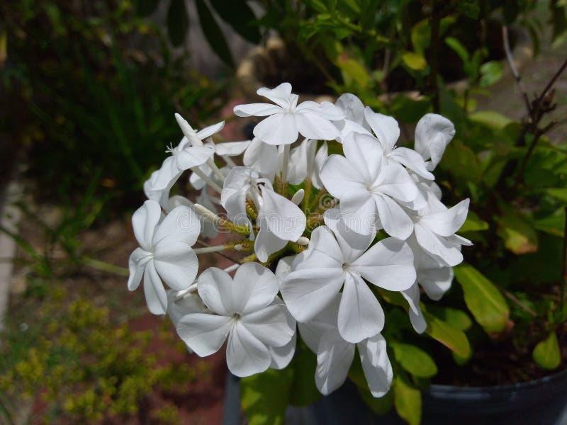 Flores blancas en la floración imagenes de archivo