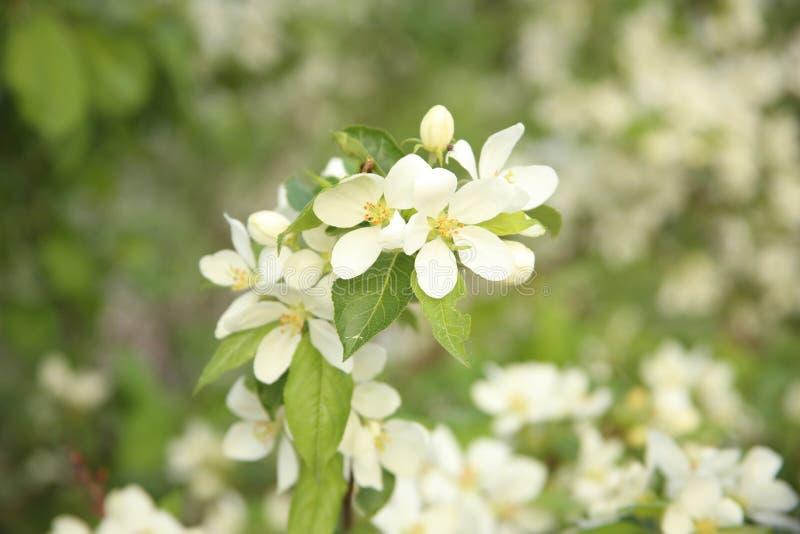 Flores blancas en un fondo de la hierba foto de archivo libre de regalías