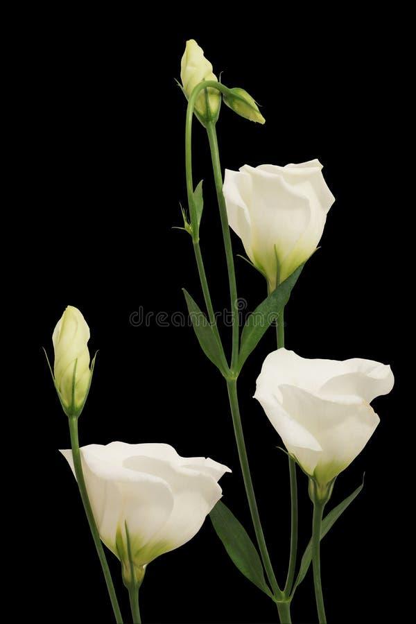 Flores blancas en un fondo negro foto de archivo libre de regalías
