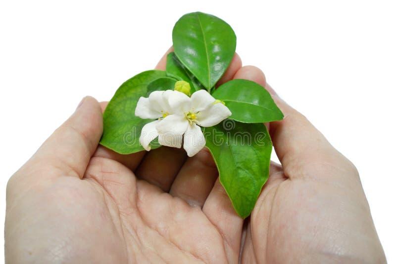 Flores blancas en una mano del ` s de la mujer aislada en el fondo blanco imágenes de archivo libres de regalías