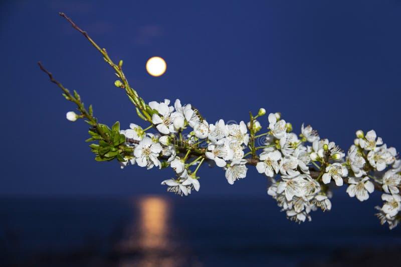 Flores blancas en una rama en el levantamiento de la luna imagenes de archivo