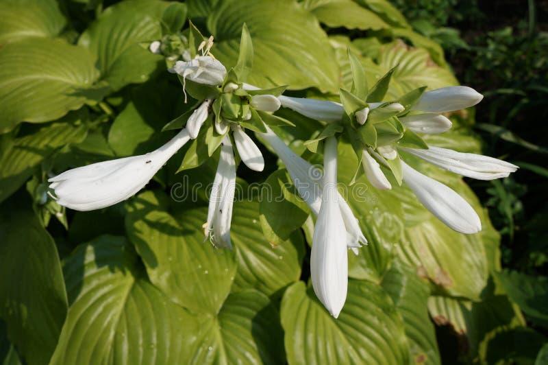 Flores blancas 'estándar' reales híbridas del Hosta y hojas verdes brillantes foto de archivo libre de regalías