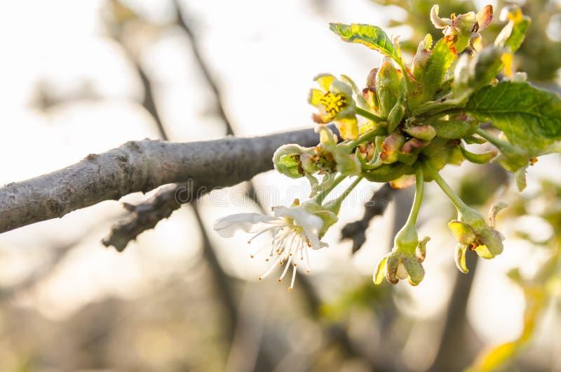 Flores blancas florecientes en rama de árbol imagen de archivo