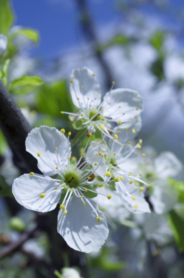 Flores blancas florecientes hermosas de la cereza en primavera fotografía de archivo