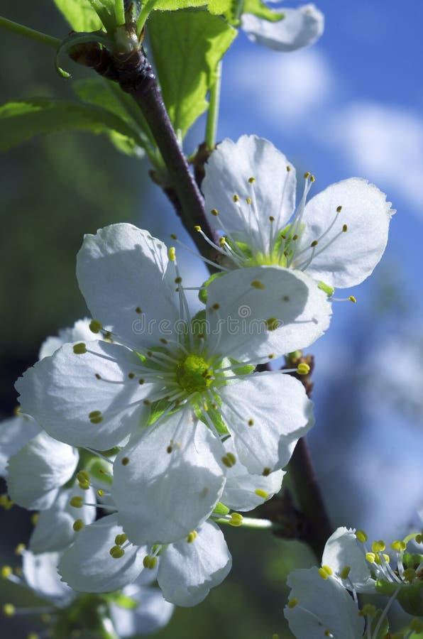 Flores blancas florecientes hermosas de la cereza en primavera fotos de archivo