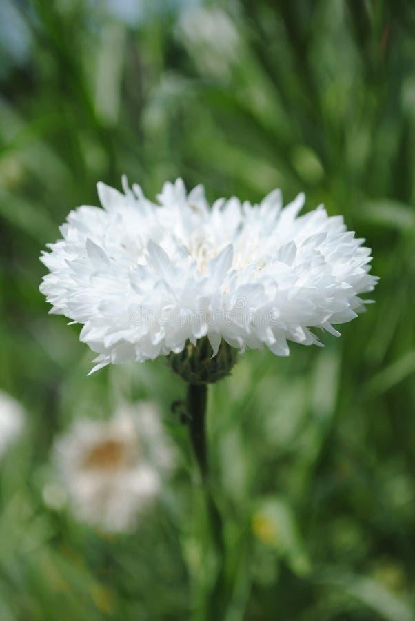 Flores blancas florecientes que asierran felicidad y paz fotos de archivo libres de regalías