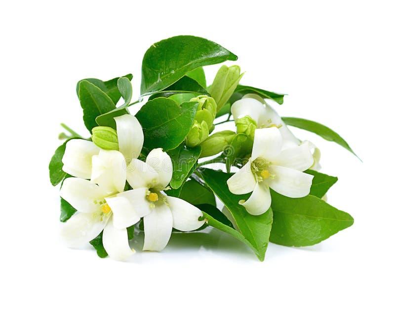 Flores blancas frescas aisladas en un fondo blanco fotos de archivo libres de regalías