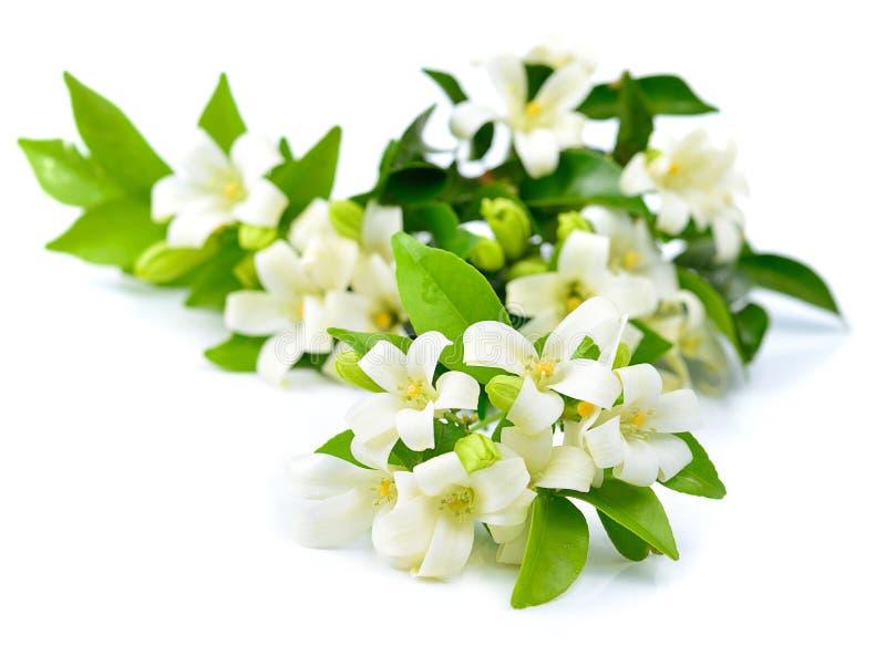 Flores blancas frescas aisladas en un fondo blanco fotografía de archivo