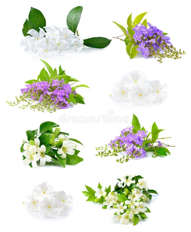 Flores blancas frescas y flores púrpuras aisladas en una parte posterior del blanco imagen de archivo