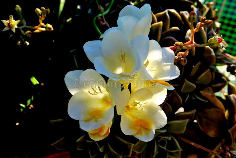 Flores blancas hermosas de la primavera con un centro amarillo fotos de archivo